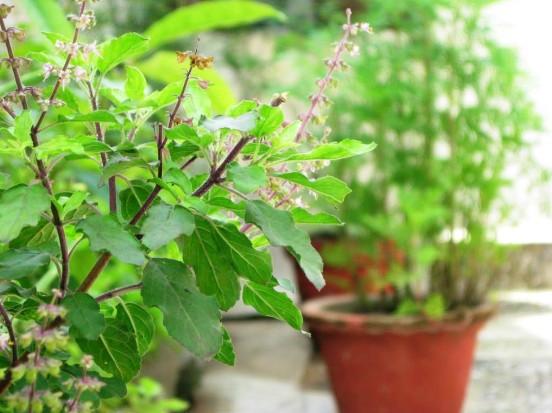 Health Benefits & Uses of Holy Basil (Tulsi)